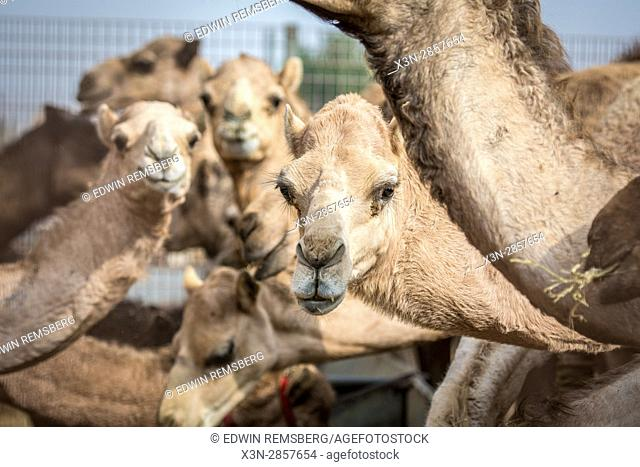Camels look into the camera while standing together in a camel pen at the Al Ain Camel Market in Abu Dhabi, UAE