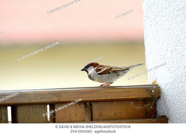Close-up of a House Sparrow (Passer domesticus) sitting on the wood of a balcony