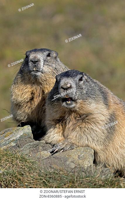 Alpenmurmeltier, Nationalpark Hohe Tauern, Kärnten, Österreich, Europa / Alpine marmot, High Tauern National Park, Carinthia, Austria, Europe / Marmota marmota