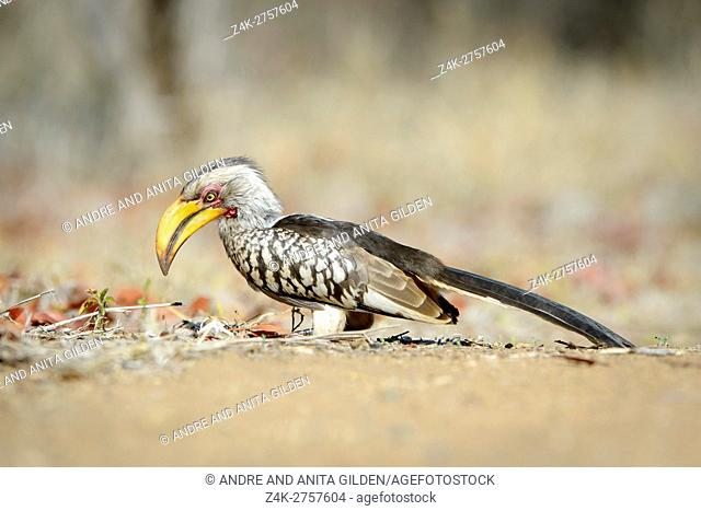 Southern Yellow-billed Hornbill (Tockus leucomelas) adult, foraging on the ground, Kruger national park, South Africa
