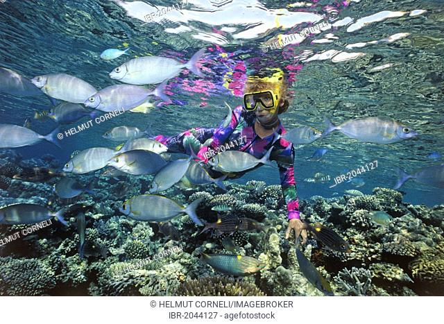 Snorkeller, woman swimming over a colourful coral reef, rabbitfish, spinefoots (Siganus), Maldives, Indian Ocean, Asia
