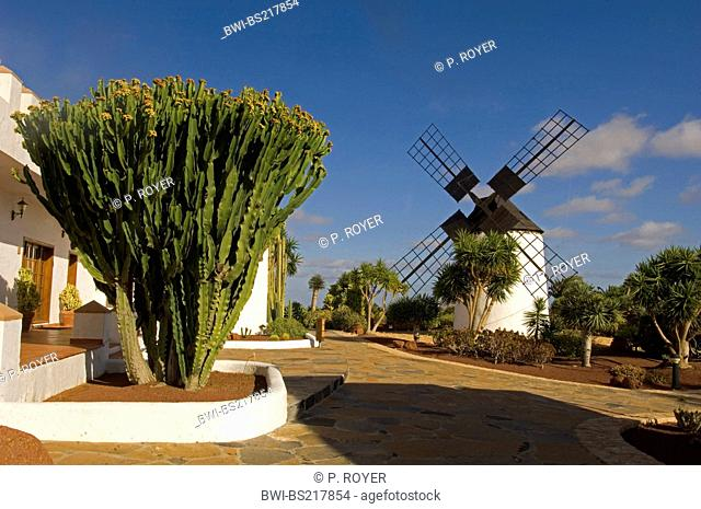Canary Island Spurge (Euphorbia canariensis), in front of wind mill, Canary Islands, Fuerteventura