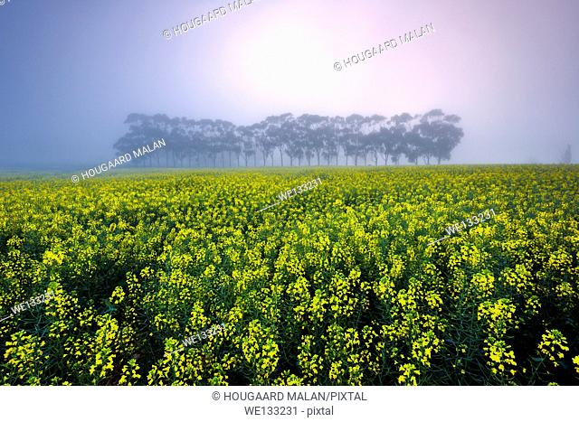 Landscape photo of a colourful misty sunrise over a canola farmland. Overberg, Western Cape, South Africa
