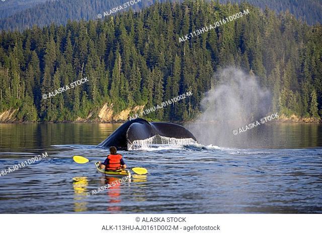Man Sea Kayaking near swimming pod of Humpback whales Inside Passage Southeast Alaska Summer Composite