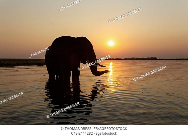 African Elephant (Loxodonta africana) - Bull at sunset in the Chobe River. Photographed from a boat. Chobe National Park, Botswana