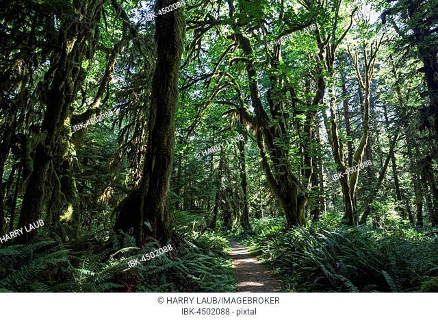 Vegetation at Kestner Homestead Trail, Quinault Rainforest, near Quinault, Olympic National Park, Washington, USA