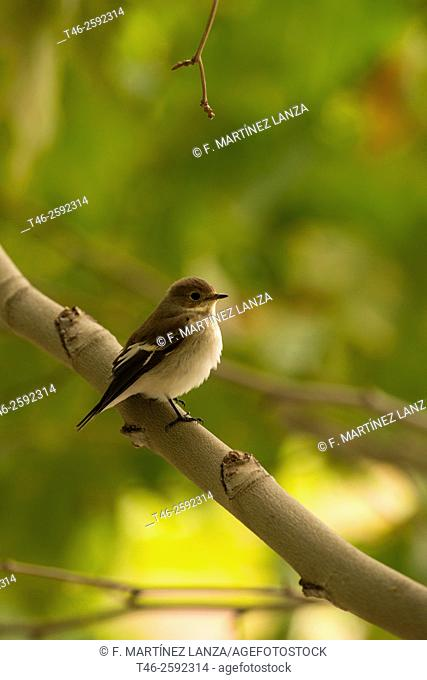 Spotted flycatcher (Muscicapa striata) is a species of passerine bird in the Muscicapidae family. Parque Regional del rio Guadarrama. Madrid province