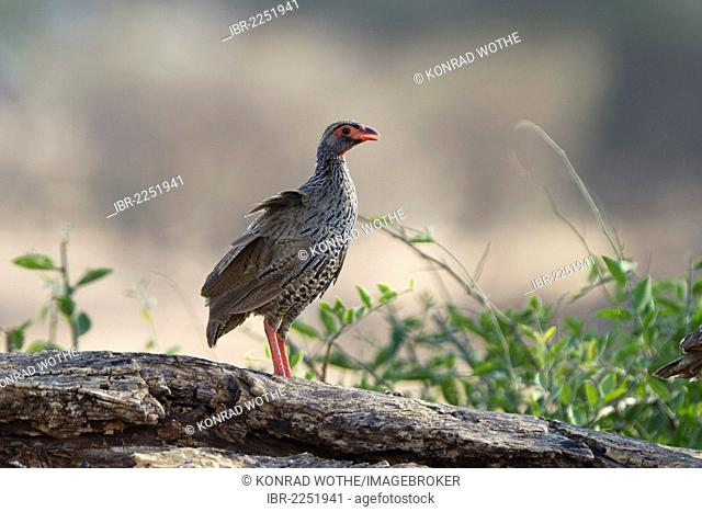 Red-necked Spurfowl or Red-necked Francolin (Pternistis afer), Ruaha National Park, Tanzania, East Africa, Africa