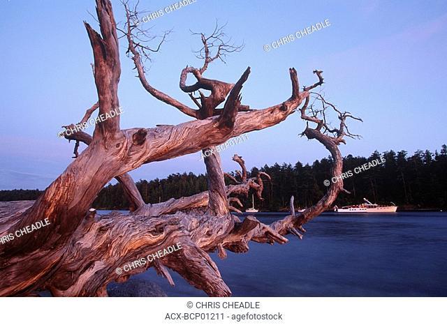 Cabbage Island park, anchorage, with fallen juniper, Gulf Islands, Cabbage Island, British Columbia, Canada