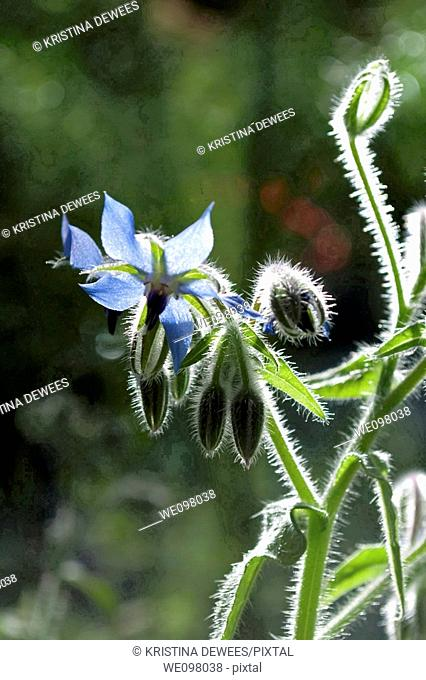 A blue Borage flower backlit by the sun