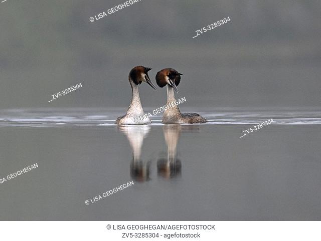 Great Crested Grebes-Podiceps cristatus display courtship