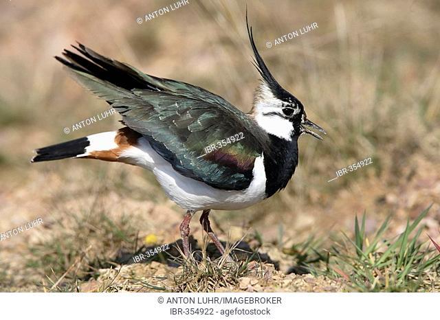Lapwing ( Vanellus vanellus )