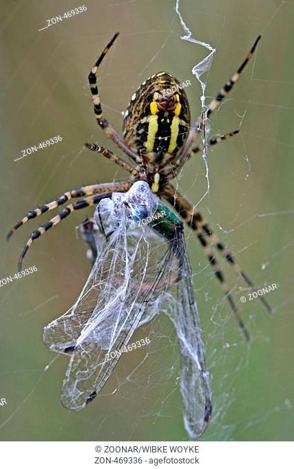 Wasp Spider with prey
