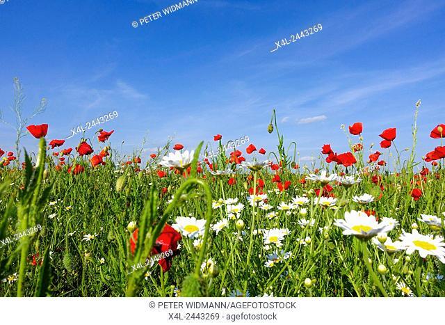 Klatschmohn (Papaver rhoeas), Blumenwiese im Frühling, Neusiedl am See, Burgenland, Österreich