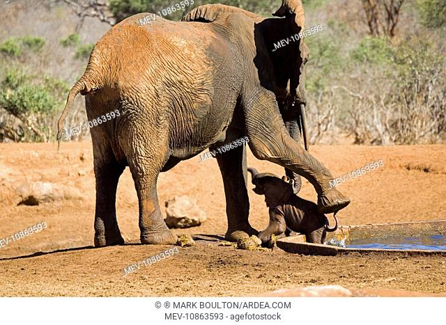 African Elephant - female / cow rescuing her very young calf which has fallen into a water hole in Ngulia Rhino Sanctuary (Loxodonta africana)