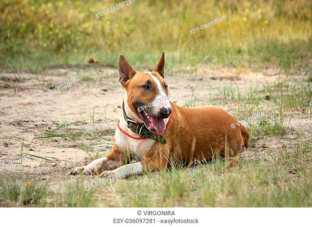 Friendly English bull terrier resting on the ground in forest