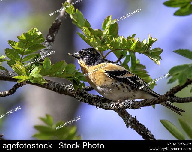 Brambling male with food for chicks, june 2020   usage worldwide. - Tromsö/Troms/Norway