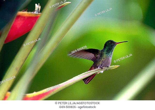 Bronze-tailde plumeleteer (Chalybura urochrysia). Vara Blanca. Costa Rica