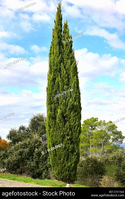 Mediterranean cypress (Cupressus sempervirens) is an evergreen coniferous tree native to eastern Mediterranean region and introduced in many others regions