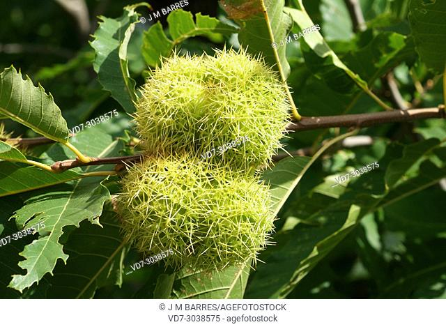Sweet chestnut (Castanea sativa) is a deciduous tree native to Europe and Asia Minor. Its seeds are edible. Fruits and leaves detail