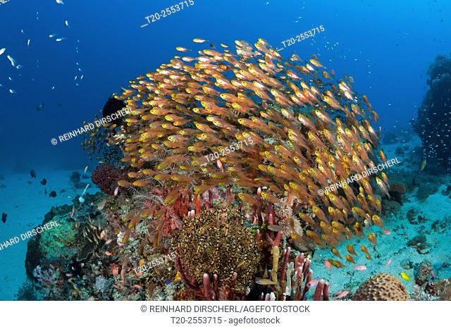 Glassy Sweepers in Coral Reef, Parapriacanthus ransonneti, Komodo National Park, Indonesia