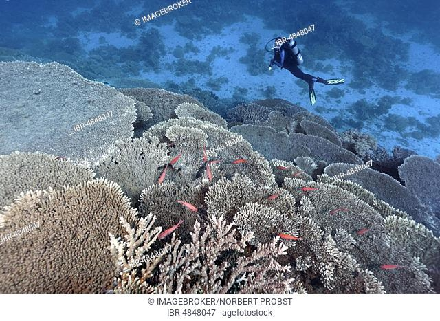 Diver looking at Coral Reef with Steinkoralle sp. (Acropora robusta) and Pinecone soldierfishes (Myripristis murdjan), Red Sea, Egypt, Africa