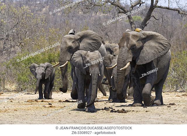African bush elephants (Loxodonta africana), herd with young, on the way to the waterhole, Kruger National Park, South Africa, Africa