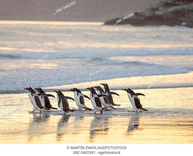 Walking to enter the sea during early morning. Gentoo Penguin (Pygoscelis papua) in the Falkland Islands. South America, Falkland, January