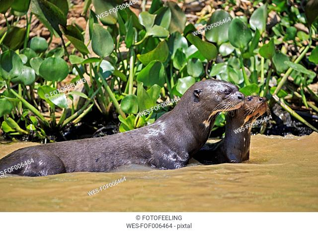 South America, Brasilia, Mato Grosso do Sul, Pantanal, Cuiaba River, European otters, Lutra lutra