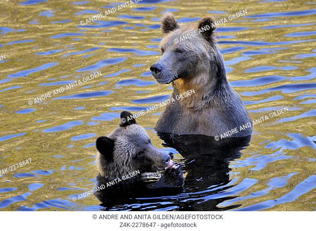 Two Grizzly Bears (Ursus arctos horribilis) in water eating a Salmon, Glendale river, Canada