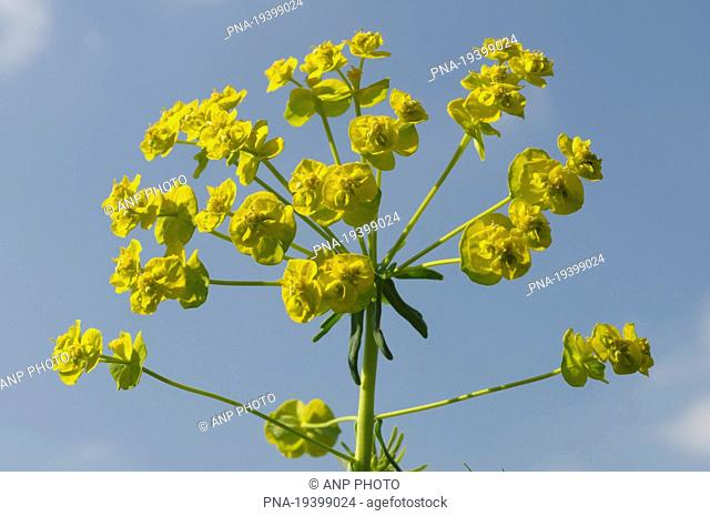 Cypress Spurge Euphorbia cyparissias - North Brabant, The Netherlands, Holland, Europe