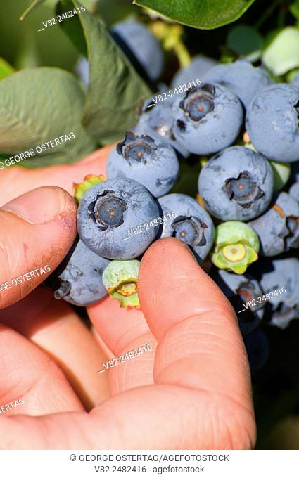 Blueberry picking, Marion County, Oregon