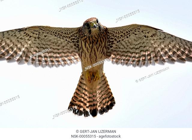 Common Kestrel (Falco tinnunculus) hunting while hovering in the air, The Netherlands, Mastenbroek