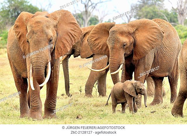 Baby elephant, Loxodonta africana, is playing with a bird between its family, Tsavo East, Kenya