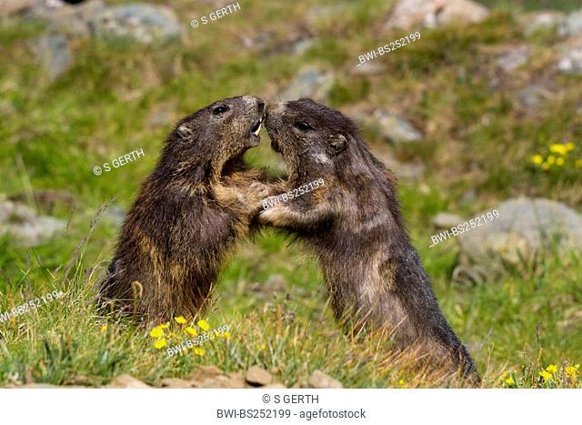 alpine marmot Marmota marmota, two animals fighting in a mountain meadow, Austria, Hohe Tauern National Park, Grossglockner