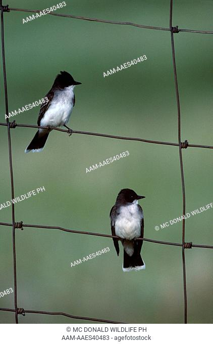 Eastern Kingbird pair (Tyrannus tyrannus) Nat'l. Bison Range, WY, June