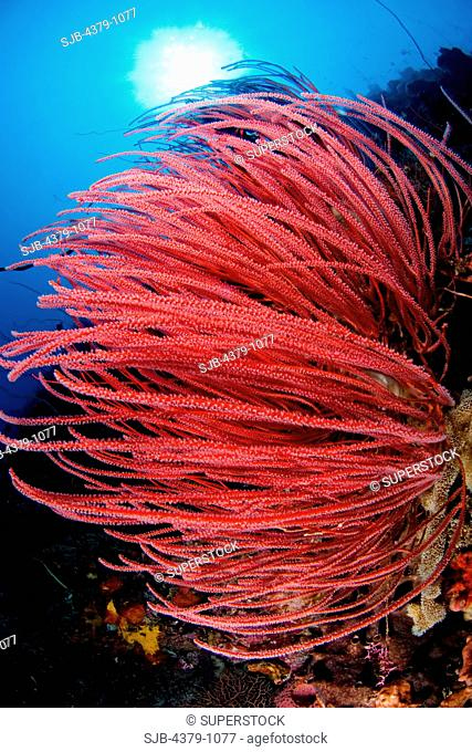 Red whip coral, Ellisella sp, Manado, Sulawesi, Indonesia