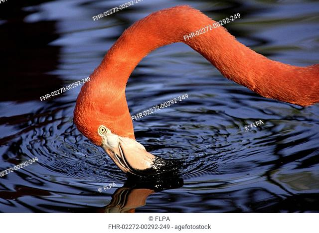 American Flamingo Phoenicopterus ruber ruber adult feeding in water, close-up of head