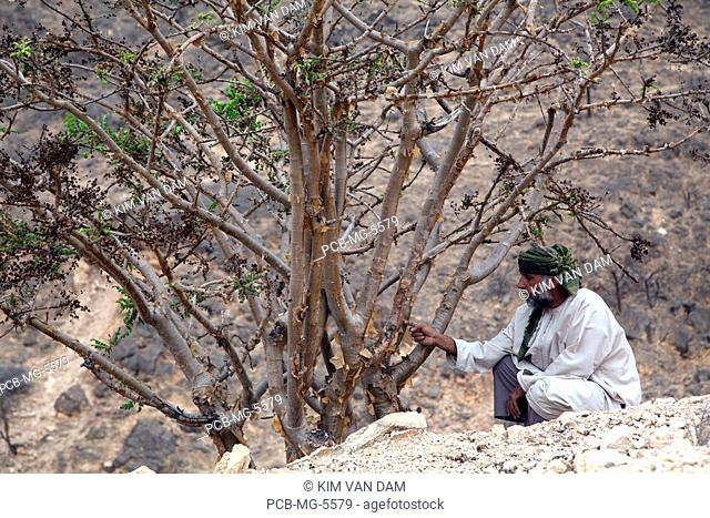 man with Frankincense tree Frankincense is an expensive, nice smelling resin of the tree Omani burn it in their houses&xA
