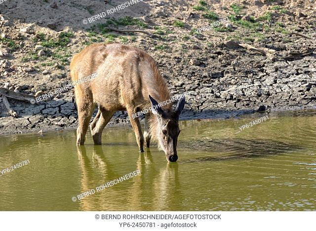 Sambar (Rusa unicolor) drinking at lake, Pench National Park, Madhya Pradesh, India