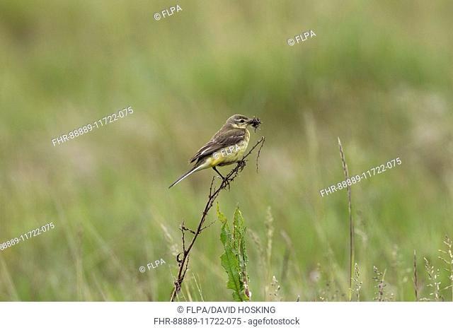 Yellow Wagtail female, British race. Motacilla flava flavissima. Deepdale Marsh Norfolk
