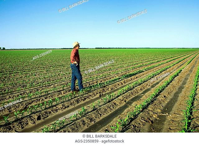 Agriculture - A farmer (grower) examines his field of early growth grain corn plants at the four leaf stage / near England, Arkansas, USA