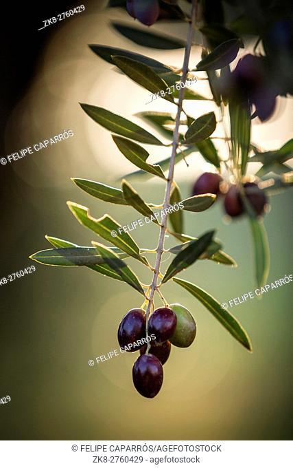 Olives on olive tree at sunset near Jaen, Spain