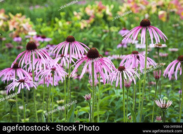 Pale purple Echinacea pallida - Coneflowers in summer border, Quebec, Canada