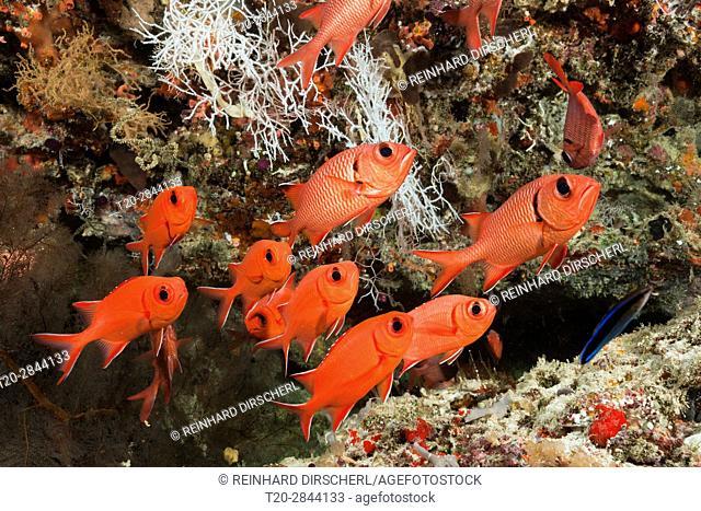 Blotcheye Soldierfish, Myripristis murdjan, Felidhu Atoll, Maldives