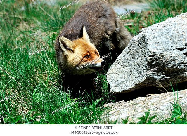 Red fox, fox, predator, doggy, pure corner, crafty fox, European fox, Vulpes vulpes, foxes, pure corner Voss, mountain fox, fox in the spring, animal