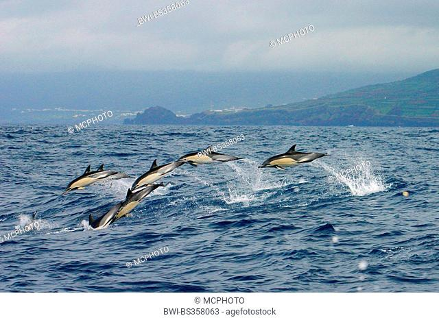common dolphin, short-beaked Common Dolphin, saddleback(ed) dolphin, crisscross dolphin (Delphinus delphis), school jumping out of the water with high speed