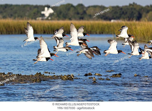 American oystercatchers take flight from an oyster bed in the Cape Romain National Wildlife Refuge South Carolina