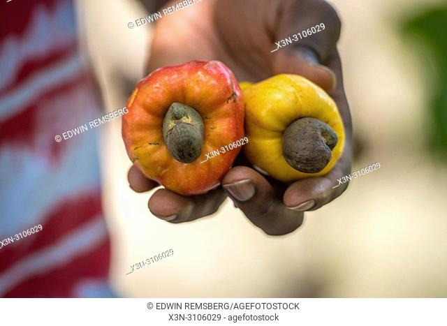 A person holds Cashew fruit (Anacardium occidentale) on a farm in Ganta, Liberia