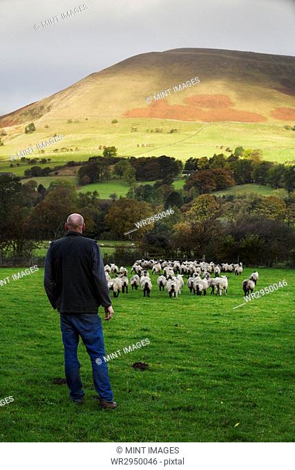 Sheep farmer, shepherd standing on a meadow watching a large flock of sheep, hills in the distance